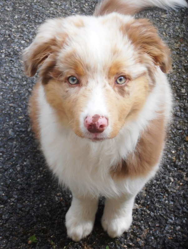 Red Merle puppy