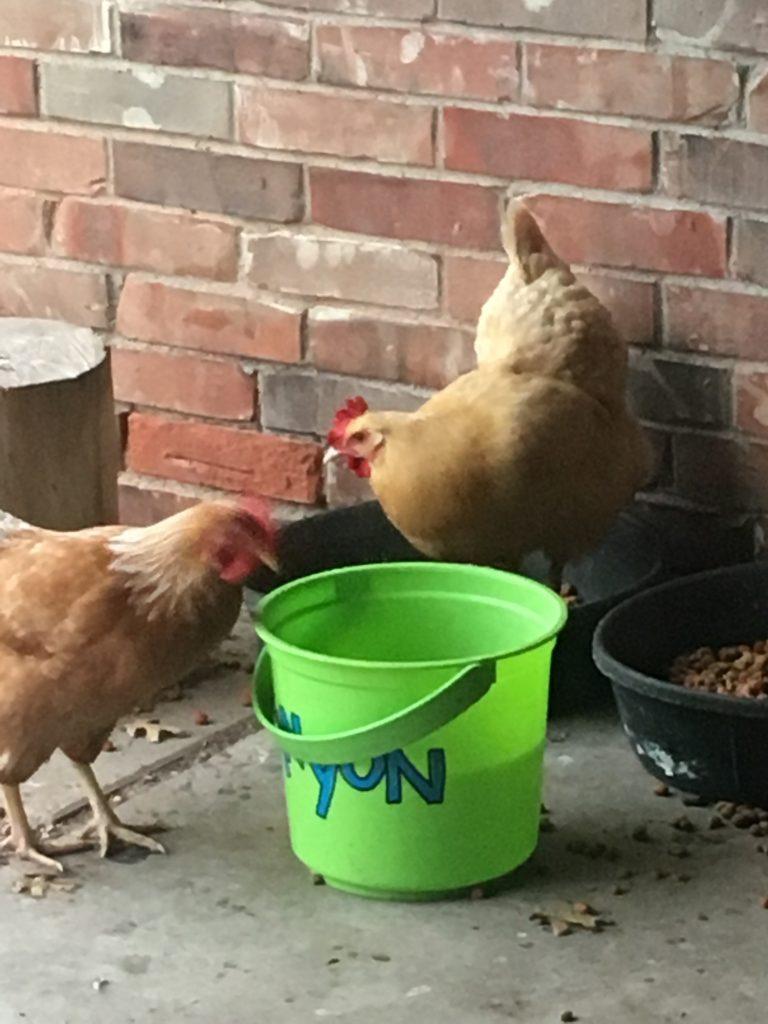Ranchito Chickens